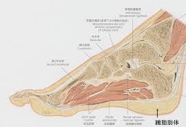 足の解剖図