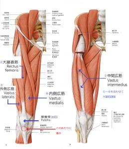 大腿四頭筋b